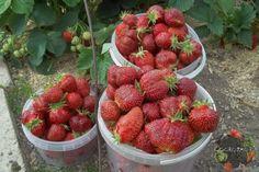 Чтобы удобрение для клубники пошло на пользу, опытные огородники советуют не пренебрегать важными правилами и соблюдать агротехнику выращивания, как весной и летом, так и осенью. Подкормки для садовой земляники необходимы сразу после пробуждения, во время цветения, в период образования ягод, а также Gluten Free Muffins, Gluten Free Recipes, Raspberry, Strawberry, Carrot Muffins, Small Farm, Free Food, Zucchini, Garden Tools