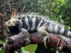 St. Lucian Iguana
