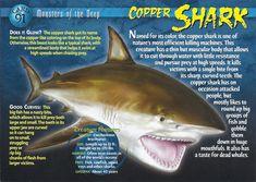 lemon shark - Google Search