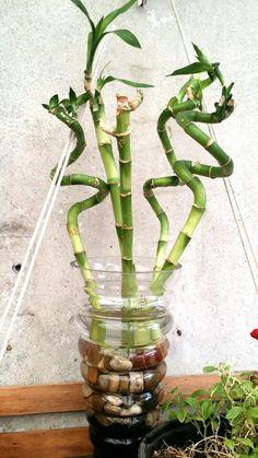 """"""" Bambú de la suerte, Lucky bamboo, Drácena sanderiana, Lucky bambú -- Dracaena sanderiana """" Los chinos regalan el Bambú de la suerte o Lucky bambú para dar suerte, por ejemplo, cuando se inicia un negocio, se compra una casa nueva, etc., de ahí su nombre. *Luz : Va bien con luz intensa pero tamizada. *Humedad : El Bambú de la suerte no es exigente en humedad. *Riego : Estas plantas se deben colocar en un recipiente tipo jarrón con suficiente agua como para cubrir las raíces. Cambia el agua…"""