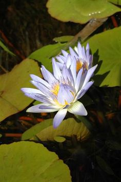 nymphaea-capensis-syn-n-nouchali-var-caerulea-or-cape-blue-water-lily