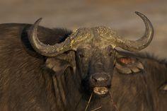 Botswana - Kaffernbüffel