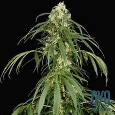 Dinafem Super Silver Feminised Weed Seeds: This one has a 10/90 indica/sativa ratio and produces a really powerful and long-lasting stone that'll make you want to get your munch on! It can grow really tall outside and produces massive yields under the right conditions. A real monster of a plant.