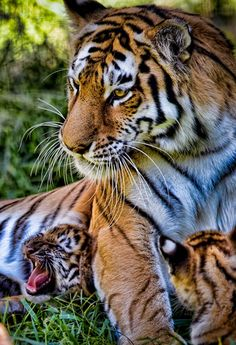 tiger.... just momma and her babies!