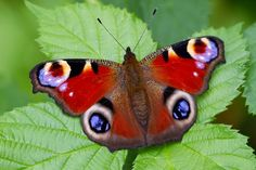 butterflies | Peacock butterflies have wing patterns shaped like eyes which startle ...