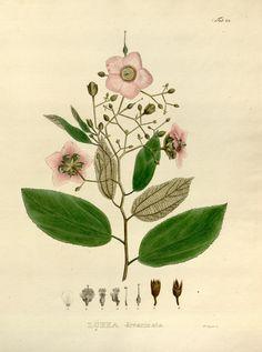 v. 1 Plates - Nova genera et species plantarum - Biodiversity Heritage Library