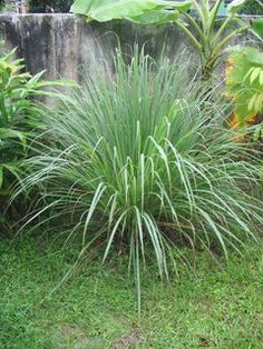Easy to grow mosquito-repelling plants - When purchasing citronella, look for the true varieties, Cybopogon nardus or Citronella winterianus. Other plants may be sold as 'citronella. - And 4 other easy to grow mosquito-repelling plants Lawn And Garden, Home And Garden, Garden Oasis, Garden Fun, Herb Garden, The Secret Garden, Mosquito Repelling Plants, Anti Mosquito Plants, Plantation