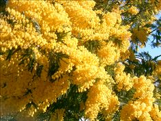 Mimosas at Bormes les Mimosas, so nice to see in real! Acacia Dealbata, Provence, Le Mimosa, Palmiers, French Country Style, Flowering Trees, Shades Of Yellow, Mellow Yellow, Daffodils