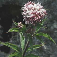 Hemp Agrimony is a tall, robust plant with broad, pink flower heads which attract lots of bees and butterflies.