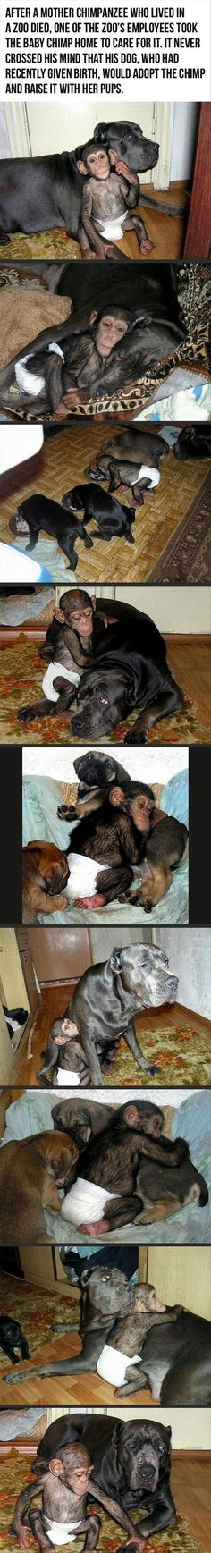 Mother dog and baby chimp- so sweet