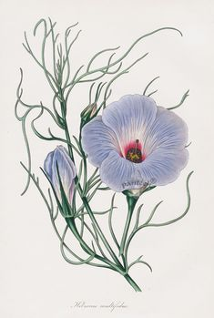 Hibiscus from Paxton Magazine Botany Antique Prints 1834