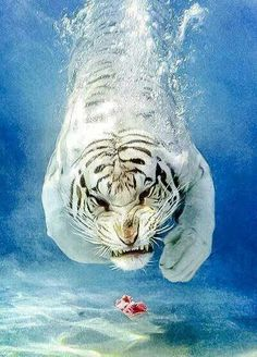 White tiger after meat