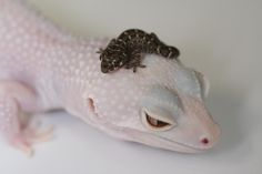 love geckos