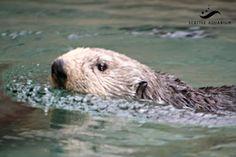 Adaa, male sea otter at the Seattle Aquarium