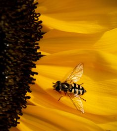 Olivia Pearl's spirit buzzing upon a sunflower. Sun Flowers, Happy Flowers, Pretty Flowers, Seasons In The Sun, American Giant, Sunflower Pictures, Honeycombs, Sunflower Garden, Fields Of Gold