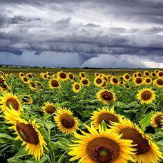 Chasing storms and sunflowers in picturesque rural @queensland (via IG/mstruddy_shotz)  www.parkmyvan.com.au #ParkMyVan #Australia #Travel #RoadTrip #Backpacking #VanHire #CaravanHire
