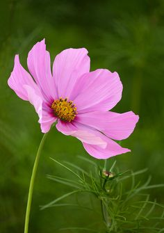 Resultado de imagem para cosmo flower cafe tnhlng pinterest poster print wall art print entitled delicate pink cosmos flower with bud in garden none mightylinksfo
