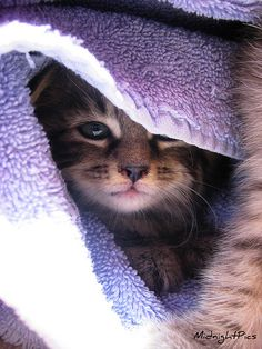 Adorable Kitten (by MidnightPics)