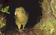 Kakapo are considered by some experts to be the oldest bird in the world, and are the heaviest parrot in the animal kingdom Animal Kingdom, New Zealand, Places To Visit, Old Things, Bird, Country, Parrot, Feathers, Animals