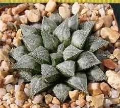 Haworthia wimii X ginsekai Origin: Horticultural Hybrid Created by: Gerhard Marx Cultivated by: Gerhard Marx
