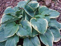 Hosta Hippodrome (Malloy 01) Hosta Plants, Shade Plants, Hosta Varieties, Shady Lady, Photo Library, Shade Garden, Gardens, Beautiful, Heaven