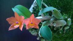Cattleya cernua (formerly Sophronitis)