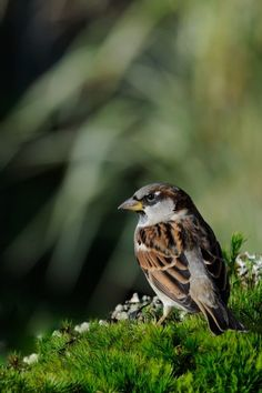 Photograph house sparrow by Jean-luc Parmentier on House Sparrow, Sparrow Bird, Peace In The Valley, Parus Major, House In Nature, Kinds Of Birds, Walk In The Woods, Exotic Birds, Animals