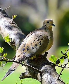 I've had two for twenty years, ring neck. Dove died a month ago, Love is doing well. Pretty Birds, Beautiful Birds, Dove Pigeon, Mourning Dove, Dove Bird, All Gods Creatures, Bird Pictures, Little Birds, Simple Pleasures