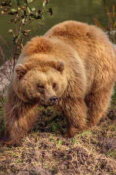 favd_expressions-of-nature-June 14 2017 at We Bear, Bear Cubs, Grizzly Bears, Cute Wild Animals, Animals Beautiful, Bear Pictures, Cool Pictures, Bear Graphic, Brother Bear