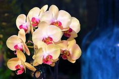 Full bloom orchids...mango, pink and guava colors