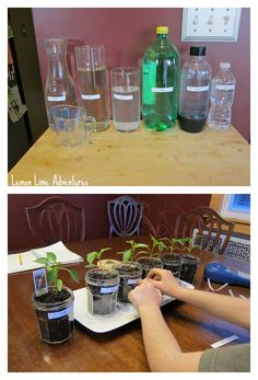 Simple Science Project: Plant Science Experiment Testing the effects of various liquids on plant growth