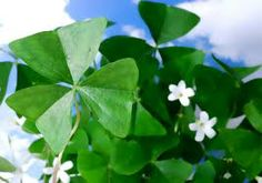 1000 images about st patricks day on pinterest plant pictures leprechaun and st patrick 39 s day - Shamrock indoor plant ...