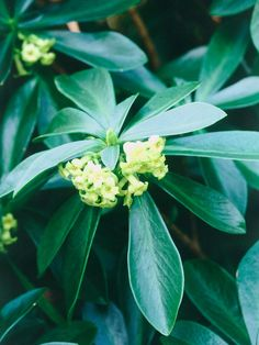 Shade-tolerant shrubs that are grown for their flowers are best planted where a little sun can filter through, such as near deciduous trees or a trellis.