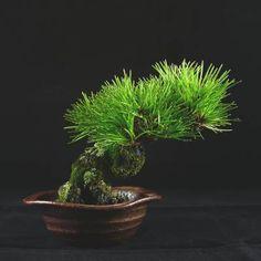 黑松-圖文時序-盆栽時間-竹化菴專刊