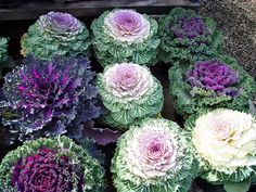 Fall and winter garden flowering kale. Pretty and delicious apparently.