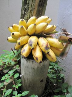 """☀Puerto Rico☀ Guineitos, """"niños"""" my abuela had these in her back yard, so yummy!"""