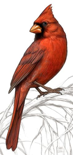 "Cardinal illustration ~ ~ For Embroidery ideas or Colored Pencil Art ~~ for the ""Old Fashion Vintage Farmer's Wife"" ~~ Watercolor Bird, Watercolor Paintings, Vogel Illustration, Vintage Bird Illustration, Pencil Illustration, Art Illustrations, Digital Illustration, Red Bird Tattoos, Tattoo Bird"