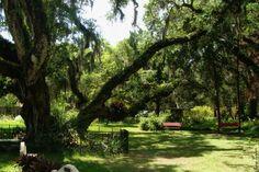 1confederate oak