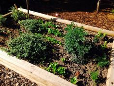 Herb garden March 25, 2014  Our Rue plant from last year on the right to repel bugs! Lettuce, Swiss Chard and Mustard greens planted in this bed along with Dill, spearmint, two kinds of sage, lemon thyme..    http://www.glutenfreelady.com
