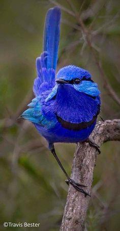 The splendid fairywren also known as splendid wren or blue wren. 🙂