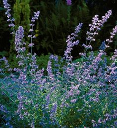 A top ranking pollinator plant, stuffed with nectar, this forms elegant pompoms of silver grey with a halo of lavender-blue flowers for much of the summer.