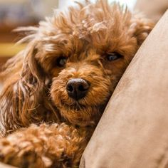 Dog Secrets: The Fastest Way To Your Dream Poodle! - poodle #poodle