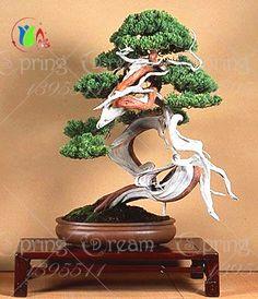 30 pçs/saco Japoneses sementes de pinheiro, Pinus thunbergii bonsai sementes frete grátis