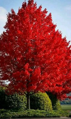 Red Maple Tree has red and orange autumn foliage. Red Maple Trees grow rapidly in a variety of soils. Red Maple Tree reaches a mature height of 60 to 90 feet. Deciduous Trees, Trees And Shrubs, Flowering Trees, Trees To Plant, Autumn Blaze Maple, Fast Growing Shade Trees, Acer Rubrum, Acer Palmatum, Red Maple Tree