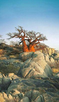 Botswana landscape Baobab Tree / Tree of Life All Nature, Amazing Nature, Tanzania, Landscape Photography, Nature Photography, Tree Forest, Tree Tree, Chobe National Park, Baobab Tree