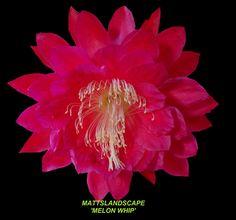 Epiphyllum hybrid 'Melon Whip'