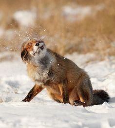 Cute Fox Cub by thrumyeye on DeviantArt Animals And Pets, Baby Animals, Cute Animals, Wild Animals, Fox In Snow, Minions, Fennec, Fantastic Fox, Amazing