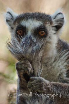 Ringtail Lemur - Sam Trull Photo