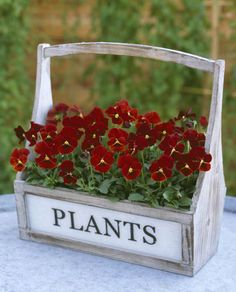Hornviol. Floral power red. Frø.