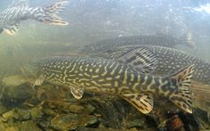 Swarmed by Pike! by Fish as art, via Flickr